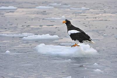 Sea Eagle Photograph - Stellers Sea Eagle On Ice Floe Hokkaido by Thomas Marent