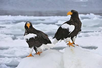 Sea Eagle Photograph - Stellers Sea Eagles Hokkaido Japan by Thomas Marent