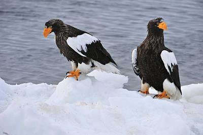 Sea Eagle Photograph - Stellers Sea Eagles On Ice Hokkaido by Thomas Marent