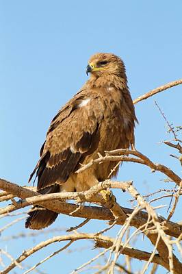 Accipitridae Photograph - Steppe Eagle (aquila Nipalensis) by Photostock-israel
