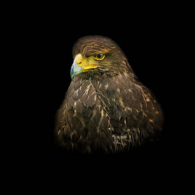 Steppe Eagle Art Print