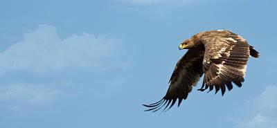 Eagle Photograph - Steppe Eagle by Digital Fly