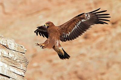 Steppe Eagle Landing Art Print by Bildagentur-online/mcphoto-schaef