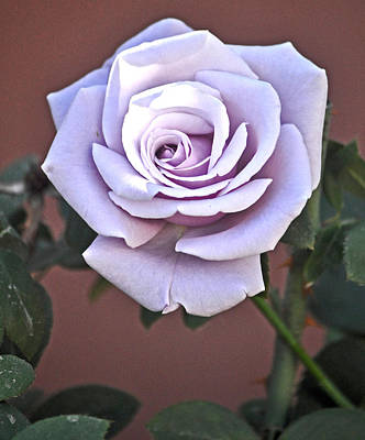 Sterling Silver Photograph - Sterling Silver Rose Named Blue Moon Rose by Jay Milo