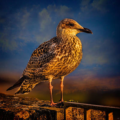 Herring Gull Photograph - Steven Seagull by Chris Lord