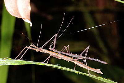 Stick Insects Mating Art Print by Dr Morley Read