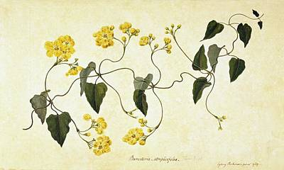 Stigmaphyllon Auriculatum Art Print by Natural History Museum, London