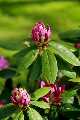 Photograph - Still Life At North Puffin - Rhododendron Opening by R B Harper