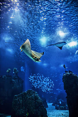 Oceanarium Photograph - Sting Ray by Nelson Rodrigues da Costa