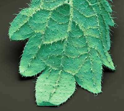 Sting Photograph - Stinging Nettle Leaf by Steve Gschmeissner