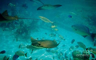 Photograph - Stingray And Fish by D Hackett