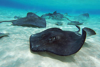 Scuba Photograph - Stingrays by Carey Chen