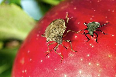 Stink Bug Adult And Nymph Art Print by Stephen Ausmus/us Department Of Agriculture