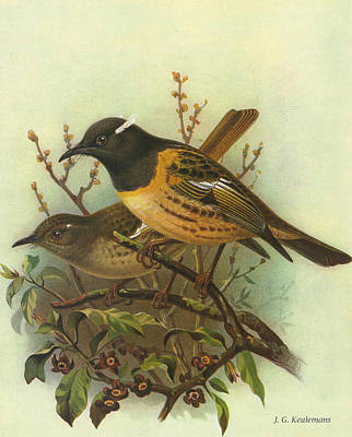 Claw Painting - Stitchbird by Dreyer Wildlife Print Collections