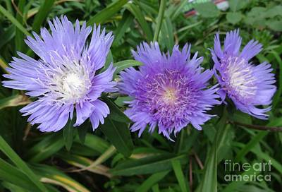 Photograph - Stokesie Laevis Or Stokes Asters by Rod Ismay