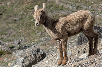 Canadian Wildlife Photograph - Stone Lamb by Kathleen Bishop