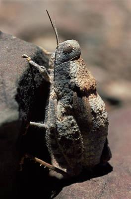 Stone Mimic Grasshopper Art Print