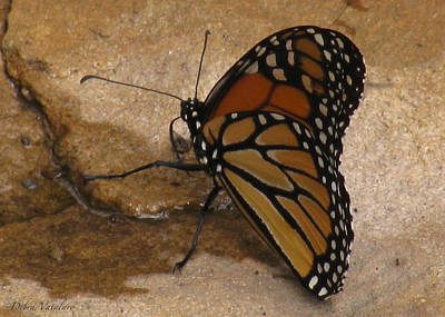 Photograph - Stone Wings by Debra     Vatalaro