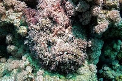 Stonefish Camouflaged On Corals Art Print by Georgette Douwma