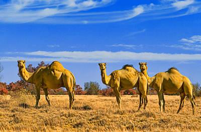 Camel Photograph - Stop And Stare V2 by Douglas Barnard