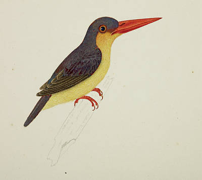 Kingfisher Wall Art - Photograph - Stork-billed Kingfisher by British Library