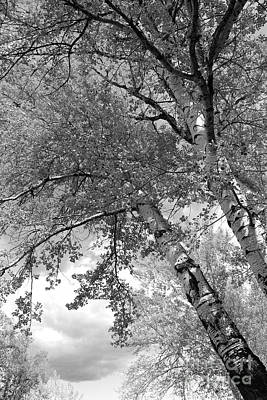 Photograph - Storm Over The Cottonwood Trees - Black And White by Carol Groenen
