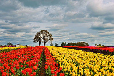Storm Over Wooden Shoe Tulip Farm Art Print by Peter Dang