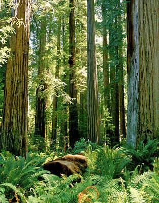 Stout Grove Coastal Redwoods Art Print by Ed  Riche