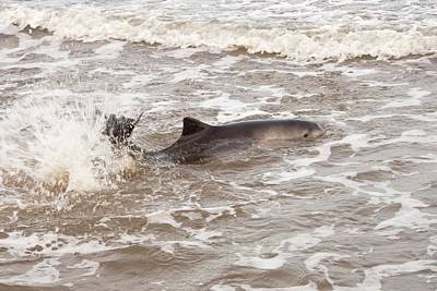 Dorsal Fin Photograph - Stranded Harbour Porpoise by Ashley Cooper