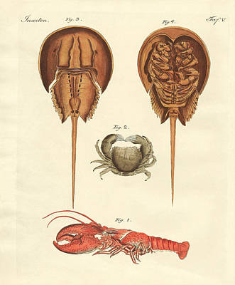 Horseshoe Crab Drawing - Strange Crabs by Splendid Art Prints
