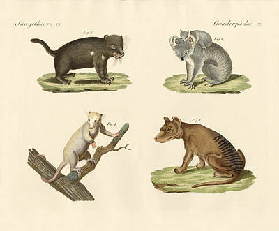 Koala Drawing - Strange Marsupials by Splendid Art Prints