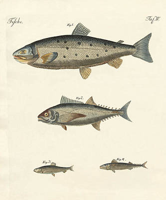Salmon Drawing - Strange Trading Fish by Splendid Art Prints