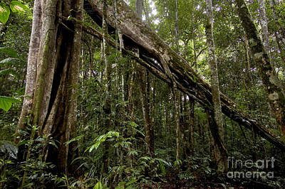 Strangler Fig In Amazon Rainforest Print by Gregory G. Dimijian, M.D.
