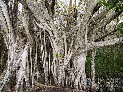 Ficus Aurea Photograph - Strangler Fig Tree by Tracy Knauer