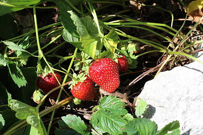 Photograph - Strawberries by John Mathews