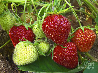 Photograph - Strawberries Ripening 2 by Sharon Talson