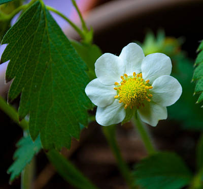 Photograph - Strawberry Blossom by Tikvah's Hope