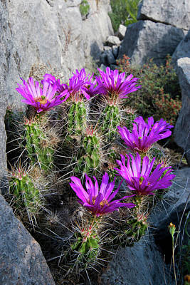 Ledge Photograph - Strawberry Cactus (echinocereus by Larry Ditto