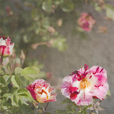 Photograph - Strawberry Cream Roses by Cathie Richardson