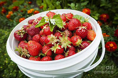 Strawberry Photograph - Strawberry Harvest by Elena Elisseeva
