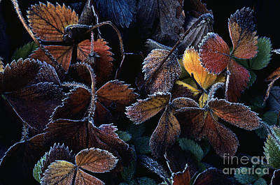Photograph - Strawberry Leaves Autumn Colors by Jim Corwin