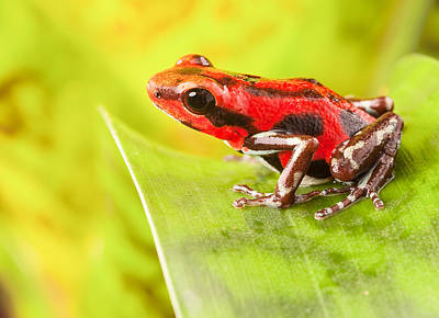 Panama Frog Photograph - Strawberry Poison Dart Frog by Dirk Ercken