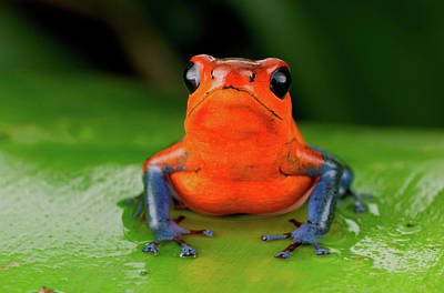 Dart Frogs Photograph - Strawberry Poison Frog Or Strawberry by Andres Morya Hinojosa