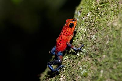 Strawberry Poison Frog Art Print by Science Photo Library