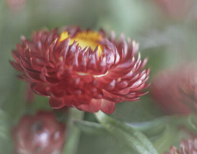 Strawflower Photograph - Strawflower by David and Carol Kelly