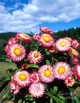 Photograph - Strawflower by Hans Reinhard