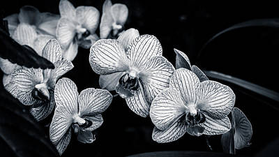 Photograph - Stream Of Orchids by Peta Thames
