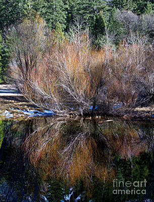 Streamside Willow And Reflection In Yosemite Original