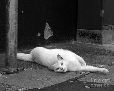 Photograph - Street Cat by PJ Boylan