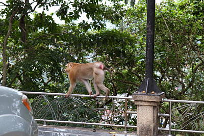 Monkey Photograph - Street Monkey - Phuket Thailand - 01131 by DC Photographer